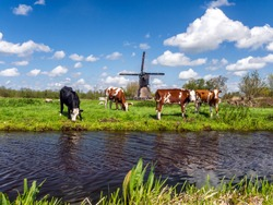 Typical Dutch landscape with cows in the meadow and a windmill near the water, on a beautiful sunny day