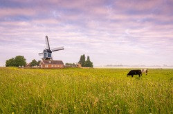 Typical Dutch scenery with cows in de meadow and a windmill in the background.
