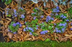 Typical flowering ground cover, England Green plant ground cover