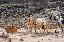 Typical Fuerteventura goats on the Fuerteventura Nature Trail GR 131 from Corralejo to Morro Jable in summer 2020.
