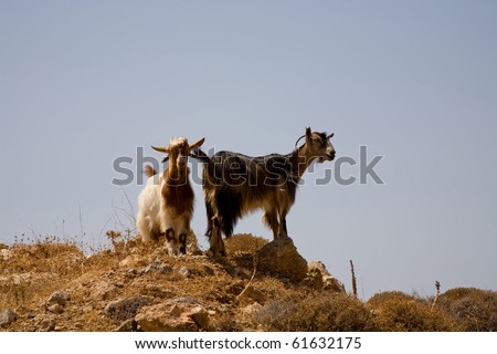 typical goats at the south of Crete, Greece