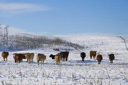 Typical herd of cattle enjoying the sunny day during a typical Canadian winter