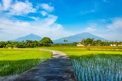 Typical Indonesian rural or countryside scenery in Boyolali, Central Java; with rice or paddy field in the foreground. Merapi Volcano in the left background, Merbabu Volcano in the right background.