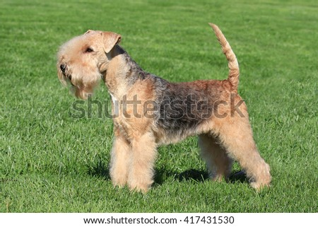Typical  Lakeland Terrier in the spring garden #417431530