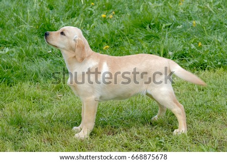 Typical puppy Labrador Retriever on the meadow