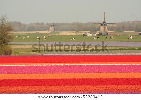 Typical spring dutch landscape with tulip fields and a windmill