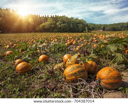 Typical styrian pumpkin field, Austria