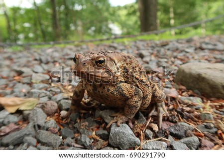Typical toad found in American. Summer time.