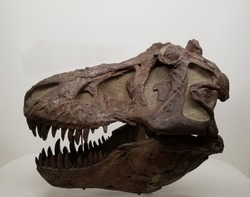 Tyrannosaurus Rex dinosaur skull with white background