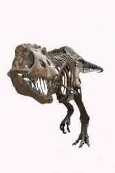 Tyrannosaurus Rex Skeleton, isolated