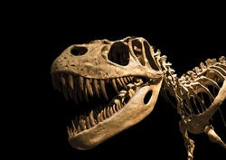 Tyrannosaurus Rex skeleton isolated on black
