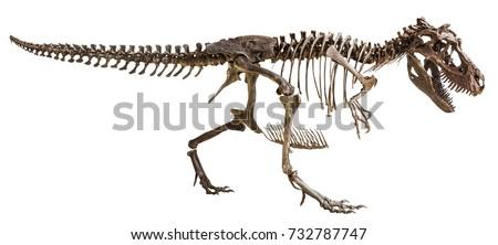 Tyrannosaurus Rex skeleton on isolated background .