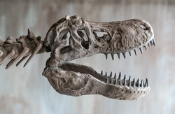 Tyrannosaurus rex skull. Close up of Giant Dinosaur : T-rex skeleton