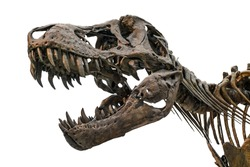 Tyrannosaurus scull isolated on white