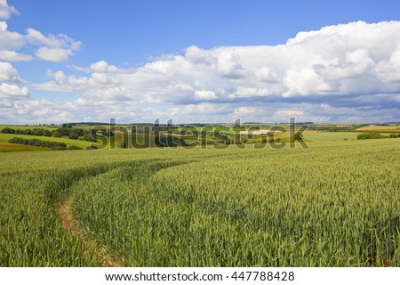 tyre marks curving in a ripening wheat field in the yorkshire wolds under a blue cloudy sky in summer #447788428