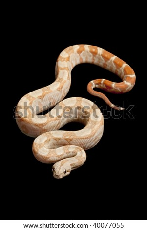 Tyrosinase-Positive Central American boa (Boa constrictor imperator) isolated on black background.