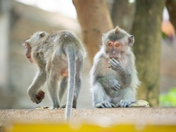 Ubud, Indonesia - October 19, 2019: Monkey Forest. Two crab-eating macaques. One of them is eating a banana and the other is leaving.