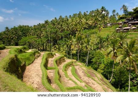 Ubud Rice Terraces, in Bali