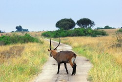 Uganda. Adult male of Waterbuck pass dirt road at Queen Elizabeth National Park. Early morning.