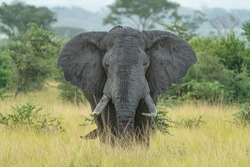 uganda male elephant bull africa savana
