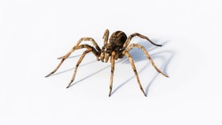 Ugly and hairy, Wolf spider macro studio isolated on white background