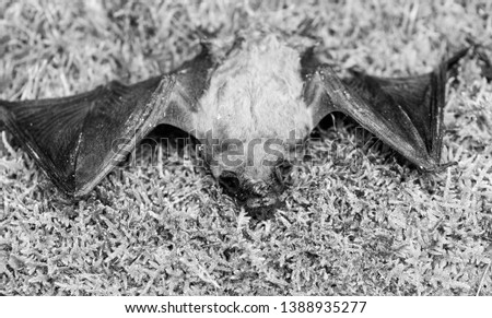 Ugly bat. Dummy of wild bat on grass. Wild nature. Forelimbs adapted as wings. Mammals naturally capable of true and sustained flight. Bat emit ultrasonic sound to produce echo. Bat detector. #1388935277