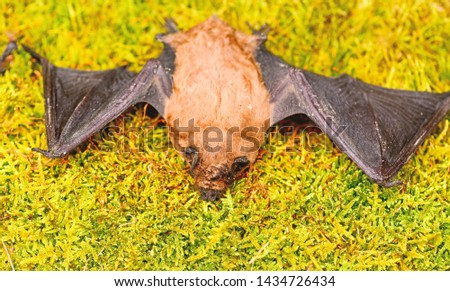 Ugly bat. Dummy of wild bat on grass. Wild nature. Forelimbs adapted as wings. Mammals naturally capable of true and sustained flight. Bat emit ultrasonic sound to produce echo. Bat detector. #1434726434