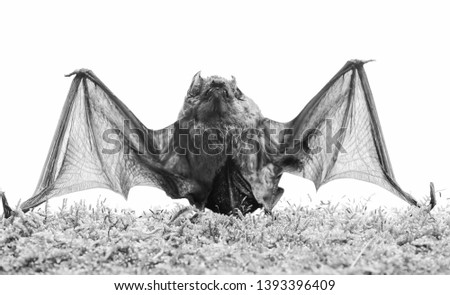 Ugly bat. Wild nature. Forelimbs adapted as wings. Mammals naturally capable of true and sustained flight. Bat emit ultrasonic sound to produce echo. Bat detector. Dummy of wild bat on grass. #1393396409