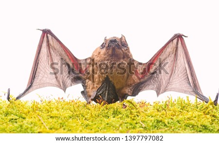 Ugly bat. Wild nature. Forelimbs adapted as wings. Mammals naturally capable of true and sustained flight. Bat emit ultrasonic sound to produce echo. Bat detector. Dummy of wild bat on grass. #1397797082