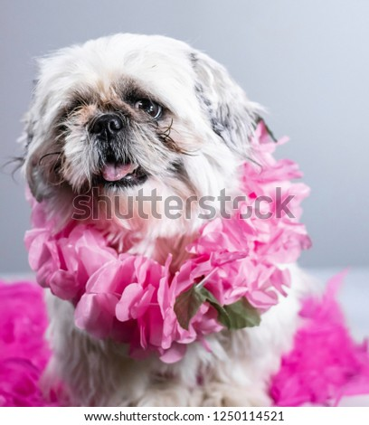 Ugly but sweet shih tzu puppy poses on valentines day for his professional portrait