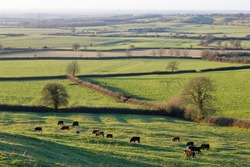 UK countryside with fields, hedgerows and a herd of cows. Aylesbury Vale, Buckinghamshire, UK