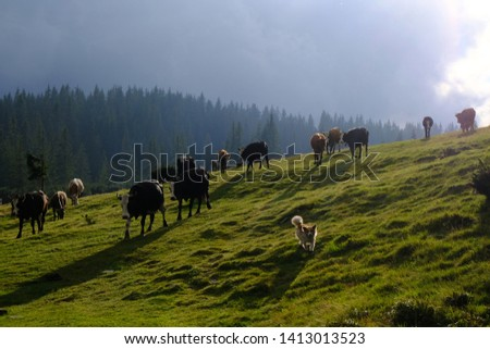 Ukraine, Eastern Carpathians, Central Gorgany Mountains - cows on pastures Ruszczyna #1413013523