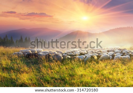 Ukraine, Vorohta. High in the mountains at sunset shepherds graze cattle among the panorama of wild forests and fields of the Carpathians. Sheep provide wool, milk and meat for agriculture