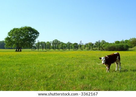 Ukrainian countryside landscape with bull calf in spring field in sunset light. Shot in Ukraine.
