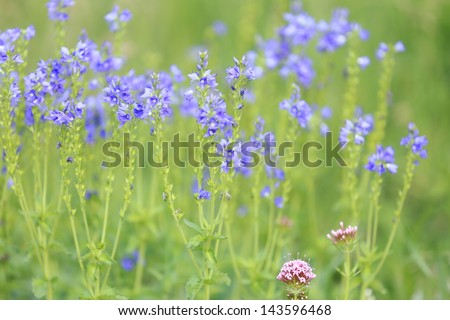 Ukrainian field with blue wildflowers