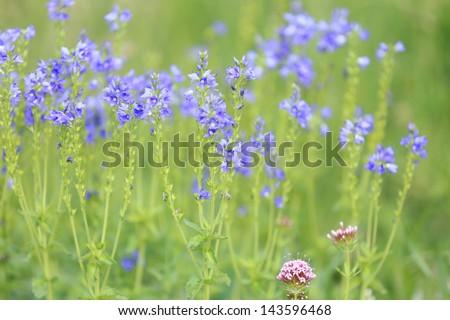Ukrainian field with blue wildflowers