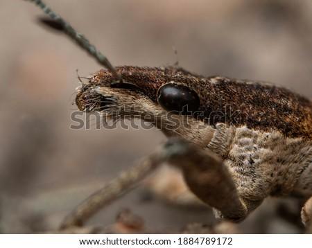 ultra macro photo of charagmus gressorius  Zdjęcia stock ©