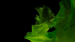 Ulva rigida, sea lettuce, marine alga, seaweed and green algae isolated on black background, This algae powerful natural food source that is rich in protein, vitamins, and fatty acids. Healthy seafood
