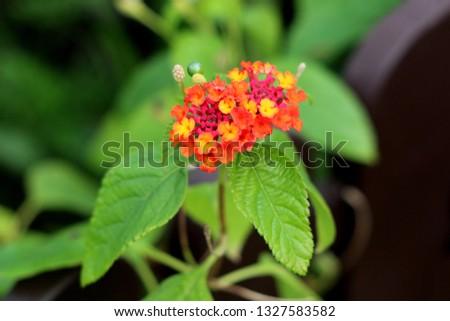 Umbelanterna or Lantana camara or Big sage or Wild sage or Red sage or White sage or Tickberry or West Indian lantana plant with colorful tubular shaped flowers arranged in clusters #1327583582