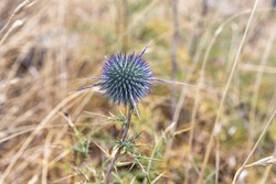Unbroken spine - Echinops - grows on the Golan Heights in northern Israel