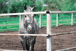 Unbroken white horse in the corral behind the fence