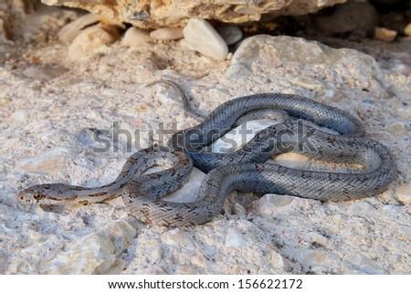 Uncommon west Texas snake, a juvenile Baird's Ratsnake, Pantherophis (Elaphe) bairdi