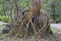 uncommonly wrapped natural roots complex in the park forest, roots super roots, roots of an old  tree surrounded by a young green shoot looks like some kind of scary monster, bigger root of park tree