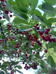 Uncultivated cherry tree close up view
