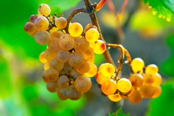 Uncultivated grapes . Sweet fruits in the autumn