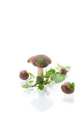 Uncultivated organic forest mushrooms on white background