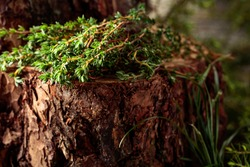 Uncultivated thyme on a stump in the forest.