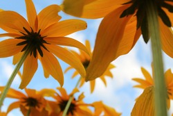 Under beautiful sunflowers with a light blue sky and fluffy clouds. The one yellow flower is in focus, and the stems gradually get out of focus to show perspective.