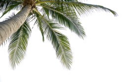Under coconut tree on white background,clipping path.