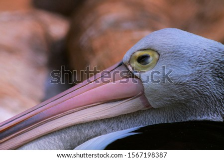 under exposure image of white Pelicans are water birds that have sacs under their beaks, and are part of the Pelecanidae family of birds. They form the order Pelecaniformes with selective focus #1567198387